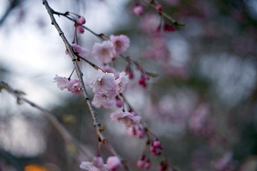 201944-円山公園_190404_0007.jpg