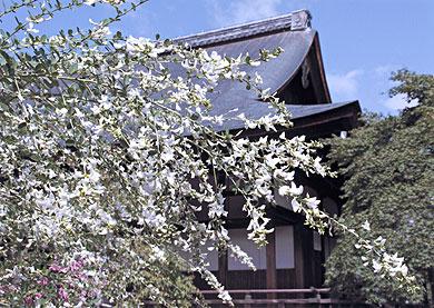 美しい萩の花_天龍寺