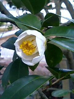 祥瑞寺に咲く白い椿