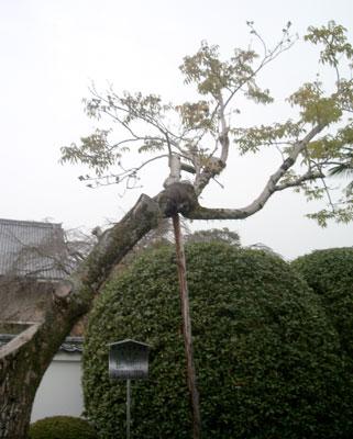 山号の由来となった木