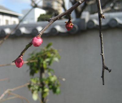 梅の蕾もほころびかけて…