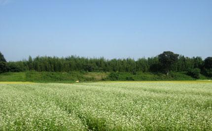 蕎麦の花が満開