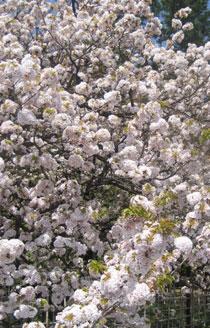 ぼんぼりのような桜