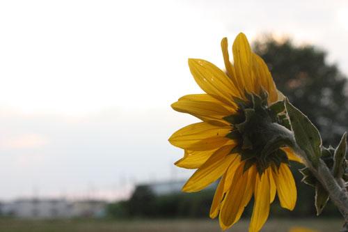 夕陽を眺める向日葵(ひまわり)