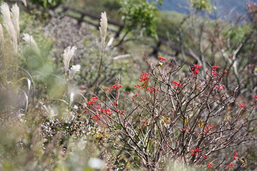 信州霧ケ峰八島湿原で見た赤い実と同じ実か