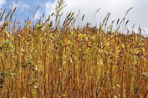 秋を感じさせる黄金色