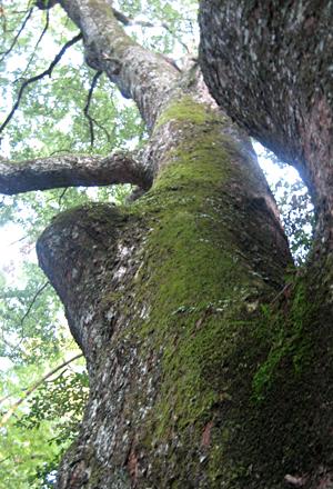 お伊勢さんの大木
