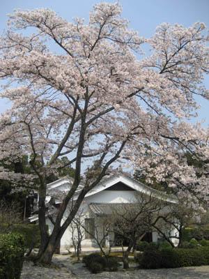 円照寺の桜