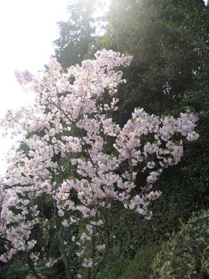 円照寺 八重桜