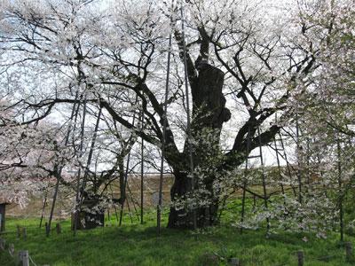 お達磨の桜