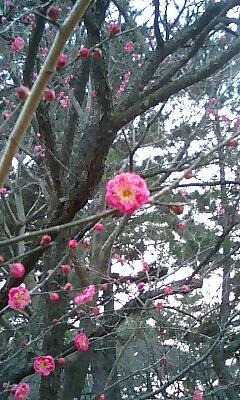 御苑内の梅