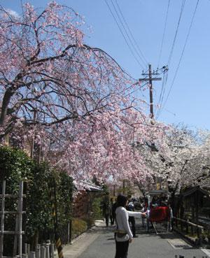 宝厳院前の垂れ桜