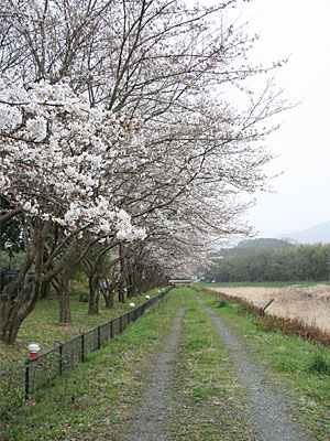 桜並木をひとりじめ