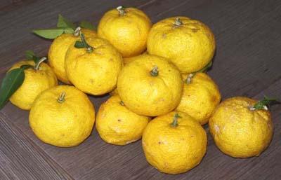 もぎたての柚子たち